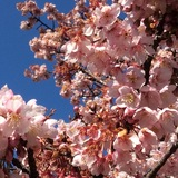 新宿御苑は寒桜が満開!!春の訪れを探しに散策しませんか?