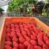 恋する農園「横田ファーム」は、美味しい苺とプチトマトで、幸せがギュッと詰まっていました。