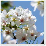 ~フォトジェニックな○○~「桜」