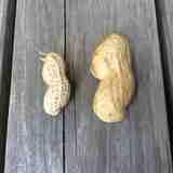 収穫後の掘りたて時にしか味わえない『ゆで落花生』食べたことありますか?